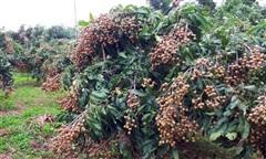Hậu Giang: Kêu gọi 'giải cứu' hàng trăm tấn trái cây