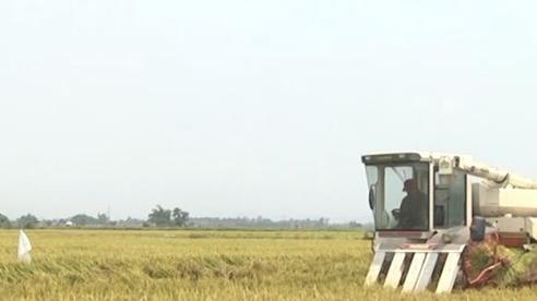 Nông dân Quảng Nam khẩn trương thu hoạch lúa hè thu