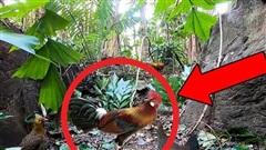 Lạc vào lãnh địa của gà rừng, nhóm đi rừng đặt bẫy bằng cành cây: Kết quả sẽ ra sao?