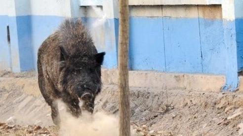 Cảnh sát Trung Quốc tiêu diệt con lợn rừng phá phách gần các trường học
