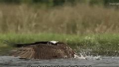 Video: Ưng biển đoạt mạng cá hồi nhanh như chớp