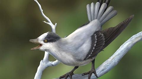 Phát hiện loài chim có răng kỳ lạ ở Trung Quốc