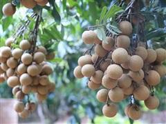 Trăn trở mùa nhãn chín: Để những mùa quả ngọt luôn được giá