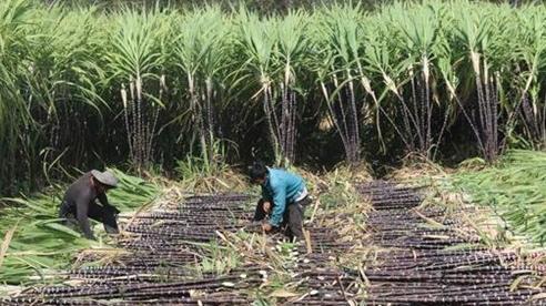 Bộ Công Thương chính thức điều tra đường mía Thái Lan lẩn tránh phòng vệ thương mại