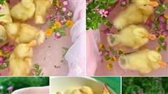 Vịt con thành 'thú cưng' tắm bồn hoa, lang thang dưới máy điều hòa mát lạnh