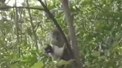 Video: Khỉ hoang bắt cóc chú chó, ôm khư khư