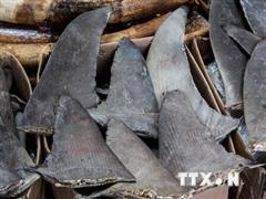 Cảnh sát Colombia thu giữ hơn 3.000 vây cá mập vận chuyển trái phép