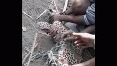 Video: Nhóm người dùng tay không tóm gọn chú báo hoa đi lạc