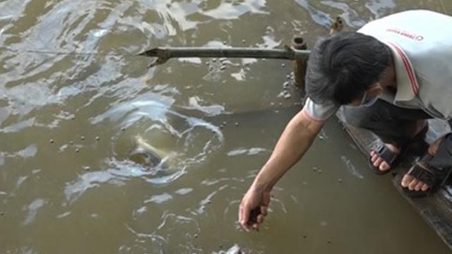 Đàn cá lạ rủ nhau bơi về nhà dân đòi ăn