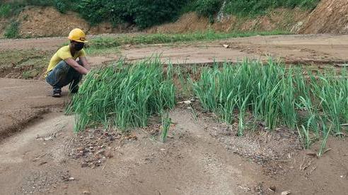 Người dân trắng tay vì ruộng lúa bị đất đá từ bãi thải điện gió vùi lấp
