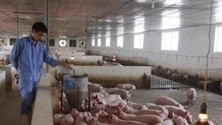 Sử dụng năng lượng sinh học trong chăn nuôi lợn cho phát điện