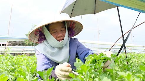 Huyện Mê Linh: Thu tiền tỷ từ vườn ươm hoa cúc