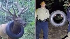Đeo lốp ô tô trên cổ suốt 2 năm, cuối cùng con nai sừng xám cũng được giải thoát
