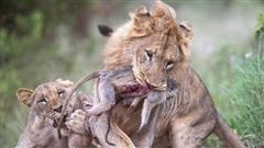 Hãi hùng cảnh mẹ con khỉ bỏ mạng trong tay sư tử