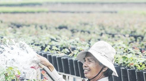 Đồng bằng sông Cửu Long: Giảm số lượng cung ứng hoa kiểng tết