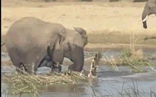 Cả gan chọc giận voi, cá sấu trả giá bằng cả tính mạng