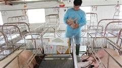 Kiểm soát tốt dịch tả châu Phi, bảo đảm nguồn cung thịt lợn những tháng cuối năm