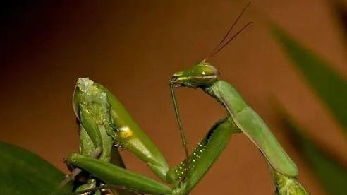 Sau khi bọ ngựa giao phối, tại sao bọ ngựa cái lại luôn tìm cách để ăn thịt con đực?