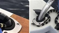 Rắn cạp nia biển kịch độc bò lên thuyền và phản ứng của ngư dân gây bất ngờ