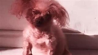 Đi công tác, gửi cún cưng cho bạn trai, ngày đến đón cô gái khóc ngất