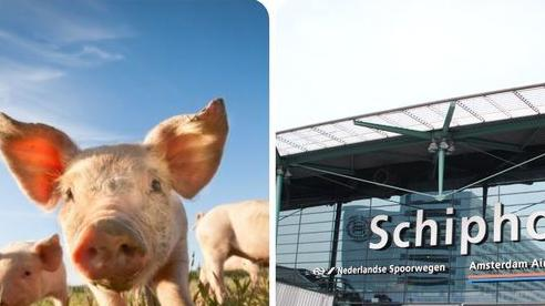 Sân bay lớn ở châu Âu tuyển heo để xua đuổi ngỗng trời