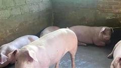 Giá lợn hơi ngày 19/10/2021: Cả 3 miền đồng loạt giảm từ 1.000 - 3.000 đồng/kg