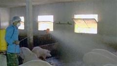 Tuyên Quang tái bùng phát dịch tả lợn châu Phi