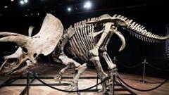 Bộ xương khủng long 3 sừng lớn nhất được bán đấu giá hơn 7,6 triệu USD