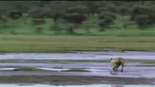 Video: Bị cả đàn sư tử truy sát, linh dương con vẫn thoát nạn ngoạn mục