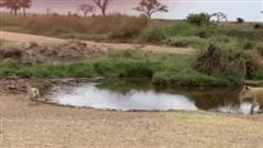 Video: Pha 'bẻ lái' bất ngờ, linh dương khiến sư tử bẽ bàng
