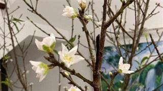 Tết chưa đến nhưng người Hà Nội vẫn bỏ tiền triệu chơi đào trái mùa nở hoa sớm