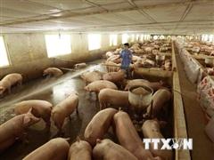 Giá lợn hơi đang tăng từng ngày, phổ biến từ 35.000-45.000 đồng mỗi kg