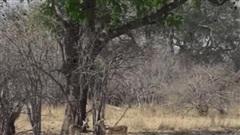 Video: Báo hoa mai ẩn nấp trên cây, bất ngờ sà xuống đoạt mạng linh dương trong tích tắc