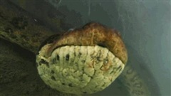 Video: Thợ lặn 'chạm mặt' trăn Anaconda dài 7 mét dưới lòng sông