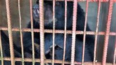 Giải cứu nhiều cá thể gấu ngựa, thả về Vườn quốc gia Cát Tiên