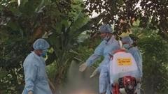Dịch tả lợn châu Phi tái phát, lây lan nhanh ở Quảng Ngãi