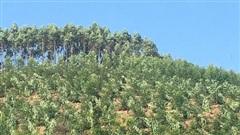 Chặt phá cả ngàn cây trong vườn dân: 'Ôtô lạ đi vào...'