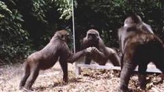Video: Hài hước phản ứng của động vật khi nhìn thấy mình trong gương