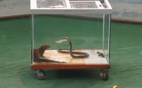 Cầy Mangut nhốt chung với loài rắn độc hơn cả hổ chúa và cạp nong: Kết cục sẽ ra sao?