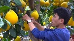 Hàng trăm cây bưởi Diễn trĩu quả, vàng ươm đổ bộ TP.HCM, cao nhất 70 triệu