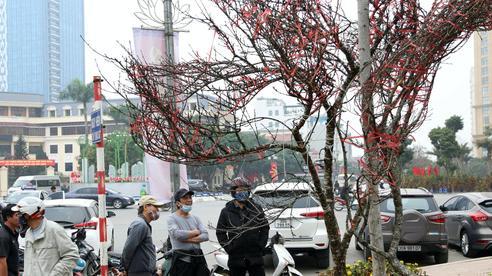Hà Nội: Những cành đào rừng Sơn La được dán tem đầu tiên 'rủng rỉnh' xuống phố chờ khách mua về chơi tết