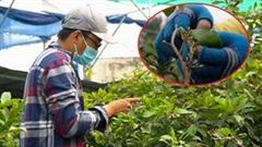 Kiếm tận 500.000 đồng mỗi ngày nhờ lặt lá để mai nở đúng dịp Tết