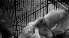Đại chiến động vật: Sư tử nhận cú 'tát' như trời đánh từ hổ con và cái kết bất ngờ