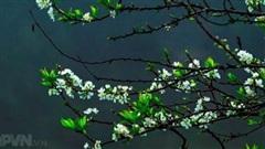 Mộc Châu hoa mận nở trắng rừng