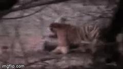 'Nữ hoàng' hổ trèo lên lưng, tung đòn giết chết cá sấu 'khủng' dài 4,3 mét