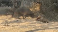 Trâu rừng gan dạ khiêu khích và hạ gục sư tử đực