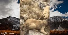 Linh cẩu vằn bị 3 con chó Kangal hung dữ hợp lực tấn công và cái kết thảm