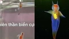 Xôn xao đoạn clip bắt được 2 'thiên thần biển' mỏng manh như pha lê, có 2 chiếc sừng và cánh bơi trong nước được cho là sinh vật cực hiếm