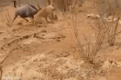 Bị dồn vào đường cùng, linh dương đầu bò tấn công ngược sư tử