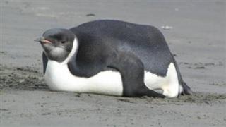 'Ngải heo' không chừa một ai: Chú chim cánh cụt ăn quá nhiều đến nỗi béo ú không đi nổi, giao phối cũng là chuyện trong mơ